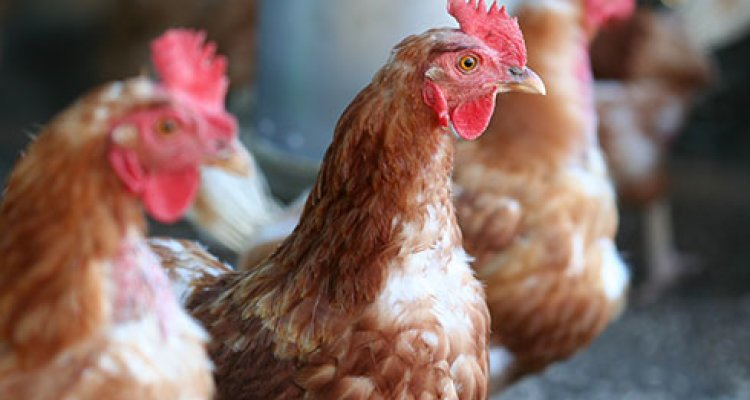water in poultry meat