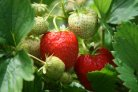 photosynthesis of greenhouse-grown strawberry plants