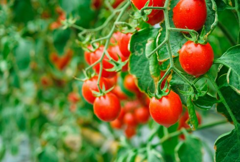 Unlocking genetic diversity in tomato: shedding light on resistance to Tomato yellow leaf curl disease