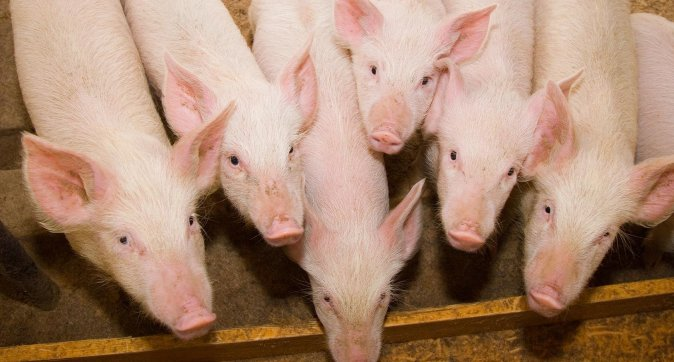 Course Gut Health in Pigs and Poultry