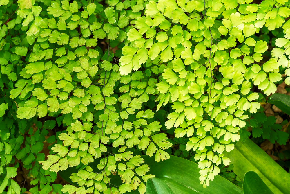 Adiantum Fern Is Master Air Purifier With The Highest Capacity Per Leaf Area