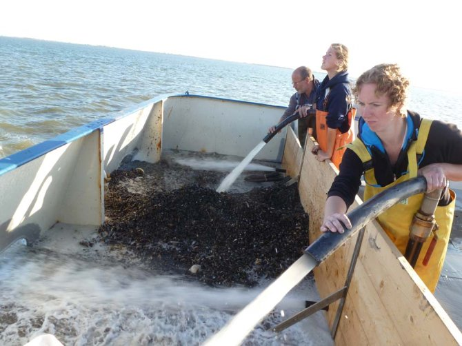 Wageningen University & Research is conducting broad research into the ecology of mussels, their food and their establishment, but also into their protection, survival and the management of mussel beds.