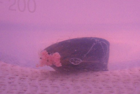 A mussel in the highest concentration tested. The color of the water is caused by pink nano-plastic.