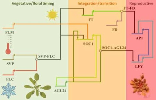 Network of regulators and environmental conditions controlling flowering time
