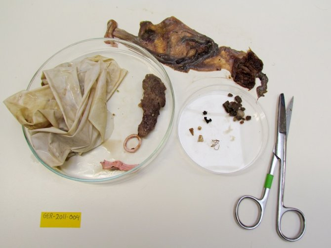 The sorted contents of the Fulmar stomach shown above, with lots of latex balloon remains. Above the petri dishes is the opened stomach (left proventriculus, right gizzard). The large petri dish to the left shows a large piece of latex from a weather balloon, and partly digested remains of a light purple latex party balloon, plus a bundle of fibrous synthetic debris. The smaller petridish shows contents from the gizzard with small plastic particles and some natural materials.