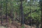 Closer panoramic view of rangelands under pine tree cover