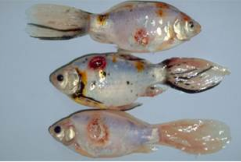 Topically acquired contact bacterial infections acquired for Fish bacterial infection
