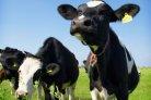 Op 94% van de melkveebedrijven is weidegang mogelijk