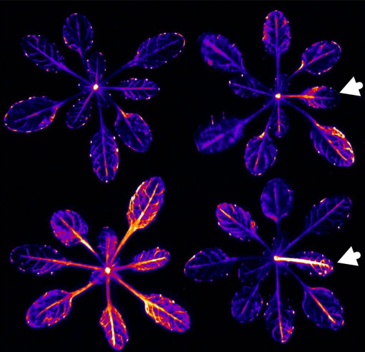 Top left: no changes in the light; top right, white arrow: far-red light on the tip of the leaf; bottom left: far-red light on the whole plant; bottom right: the effect of external administration of auxin to the tip of the leaf.