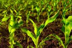 Sustainable-Food-Security-Crop-Production-final.jpg