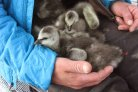 Photo: Goslings of the Barnacle Goose