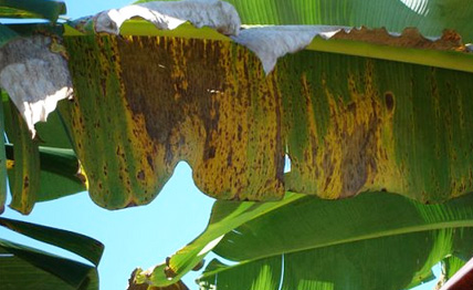 Banana cultivation - Black Sigatoka and Panama Disease - WUR