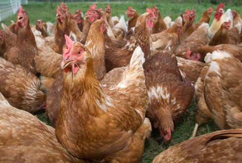 how to breed broiler chickens pdf