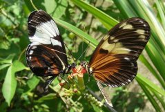 september 2009 - heliconiusvlinder