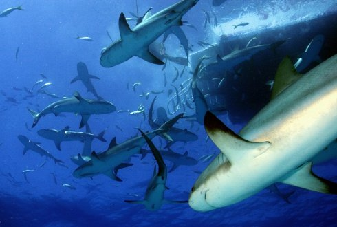 Study for a shark protection plan
