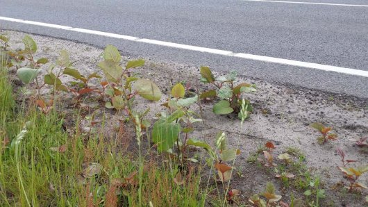 Re-growth of Japanese knotweed in roadside verges after the top layer has been milled away.