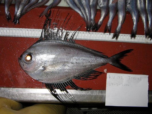 Silver pomfret (Pterycombus brama)