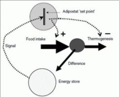 The scheme depicts a situation in which the signal indicates a level of body energy reserves lower than those required by the adipostat 'set-point' which results in regulation of food intake (+) and thermo-  genesis (-).  From: Cannon et al., 2009,Proc Nutr Soc 68:401.