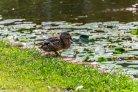 Dode vissen en watervogels door botulisme