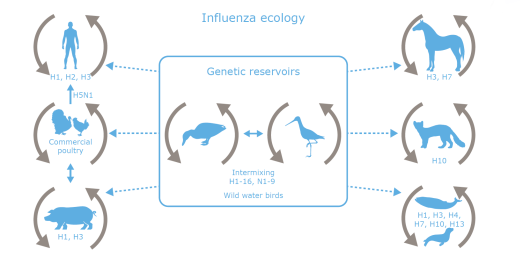 influenza ecology.PNG