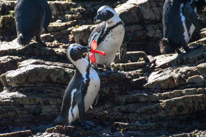 Playful behaviour, in this case by a Jackass Penguin (Spheniscus demersus) in South Africa, can lead to entanglement or ingestion.