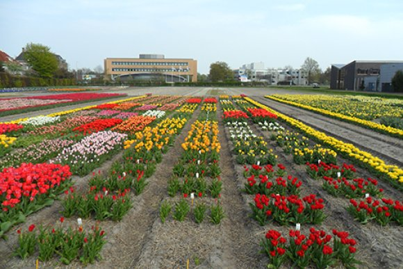 Tulips free of stem nematodes thanks to hot water treatment