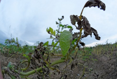 New App available for the control of Phytophthora in potato