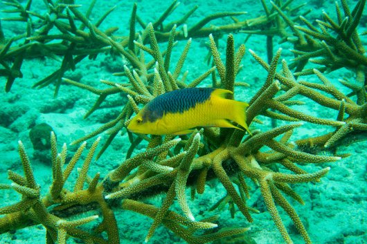 Wageningen Marine researchers work to repair the coral reefs in the Caribbean. Threats  to the coral include pollution and climate change. Still, there are also positive developments. For example, many fish species find a safe breeding ground among the young cultivated coral.