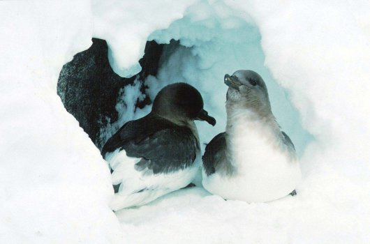 Antarctic Petrels (Thalassoica antarctica) are early breeders on the Antarctic continent and often have to dig through a lot of snow before the nest site on the rocks can be found.