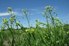 CRISPR, camelina, cut! Valorizing genome-edited Camelina sativa for a bio-based economy