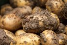 A better estimate of the net yield of seed potatoes