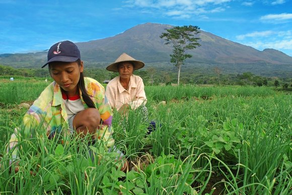 Indonesian farmers brush up on efficient vegetable production practices combined with modern varieties