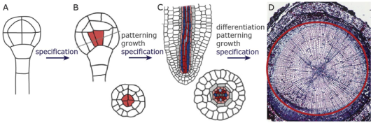 Figure 1: Vascular tissue development encompasses identity specification (A,B), growth, patterning (C,D), and differentiation (D). These processes are temporally isolated in the embryo (A-C), while they occur simultaneously in post-embryonic organs (e.g. conifer stem in D). Adapted from Scarpella and Helariutta (2010) and Biodisc ART.com.