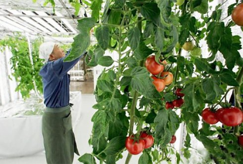 Impact of climate change on tomato production in greenhouse in Utsunomiya-city (Tochigi prefecture Japan).