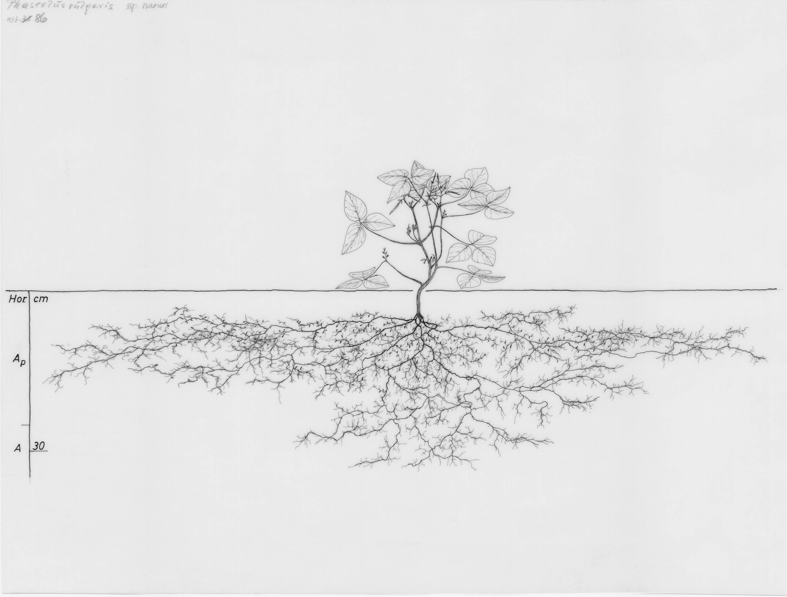 Drawings Of Root Systems In Image Collections Wur