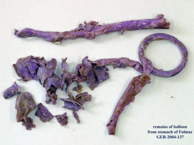 Example of remains of a fragmented latex party balloon from the stomach of a beached dead Fulmar.
