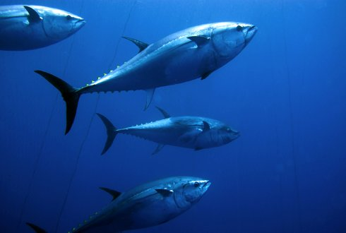 Analysing the influence of market based mechanisms on international cooperation for tuna management in the WCPO