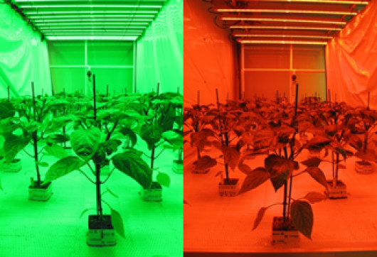 Figure 3. HI-LED experiment for growing tomato and pepper plants
