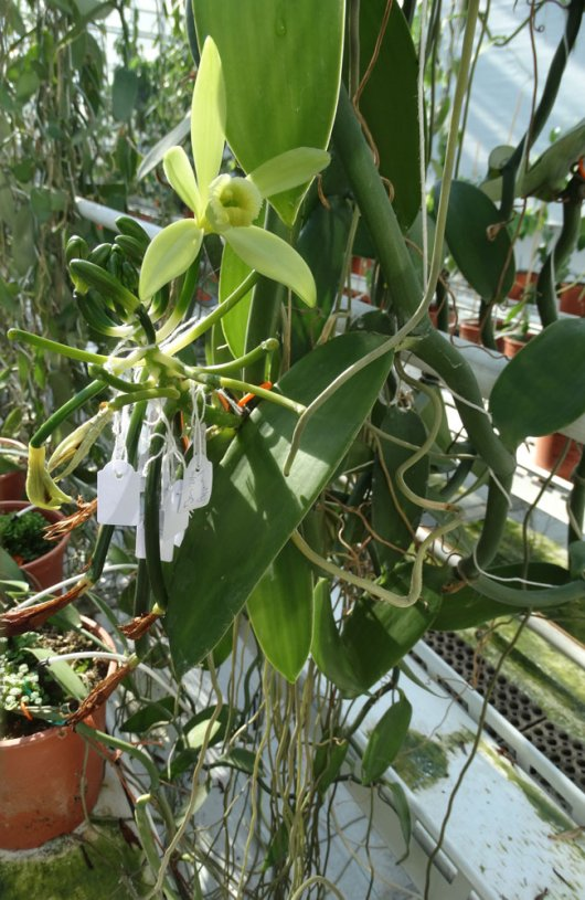 Blooming vanilla in the Dutch greenhouse: Nethervanilla