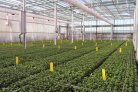 LED does not cause a delay in flowering with chrysanthemum