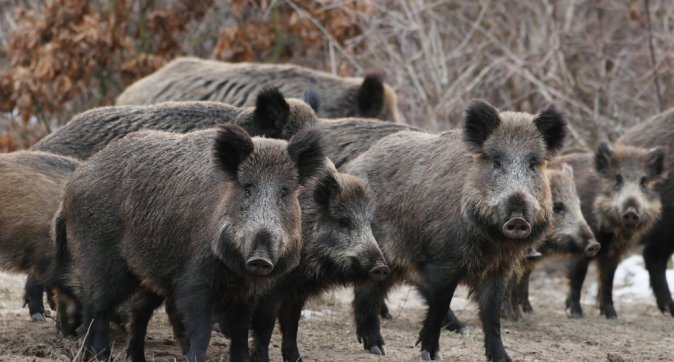 Concerns about African Swine Fever. Justified or not?