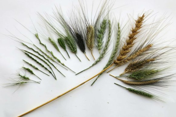 WHEALBI – Improving European wheat and barley production