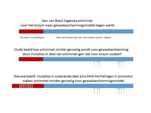 DNA repeat in promotor NL.jpg