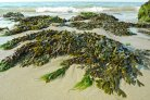 Feasibility of Chino-Dutch Seaweed Exchange