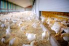 Economics of broiler production systems in the Netherlands