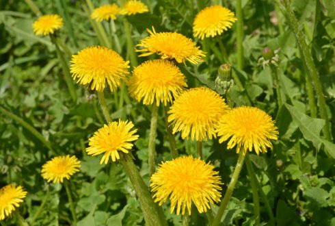 Measuring stress-induced DNA methylation in apomictic Dandelions