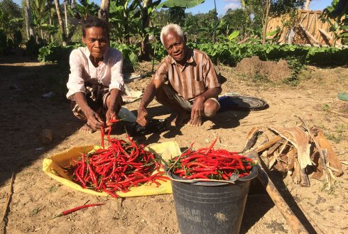 Improving chilli peppers in Indonesia