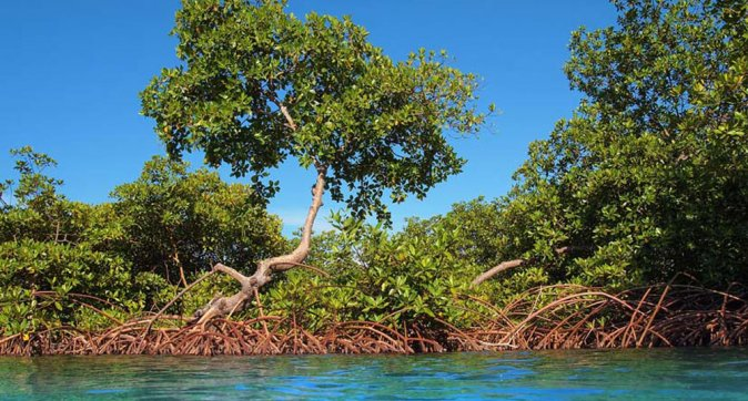 mangrove on Bonaire