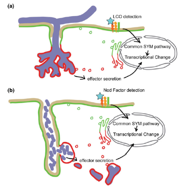 Figure 2. Working model: AM effector proteins controlling arbuscule formation and function.