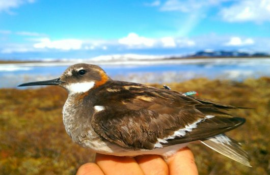During an expedition in Scandinavia, the migration of three Arctic sea bird species was looked at: Arctic Skua, Skua  and Red-necked Phalarope (photo). Earlier, a number of birds have been equipped  with small geolocators. These data sometimes show spectacular migrations, up to South Argentina and South Africa.